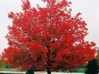 Acer rubrum 'October Glory'