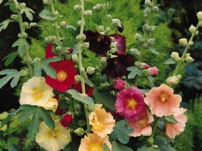Alcea ficifolia (Happy Lights)