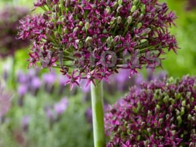 Allium 'Magic'