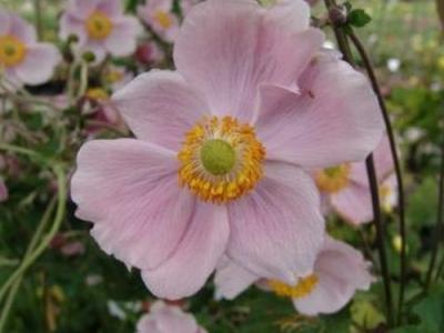 Anemone 'Richard Ahrens'