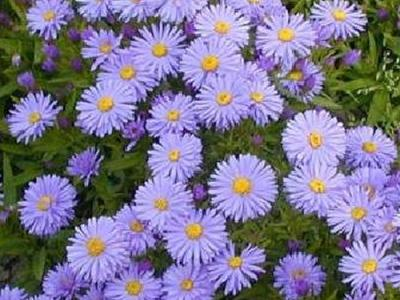 Aster Dum. 'Lady in Blue'