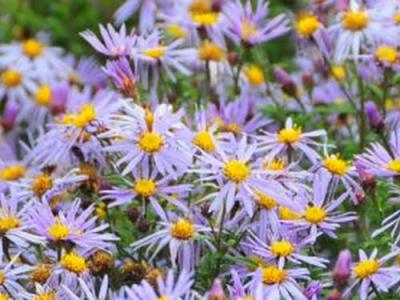 Aster ageratoides 'JS Eleven Purple' PBR