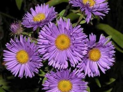 Aster n-a. 'Barr's Blue'