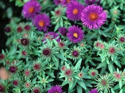 Aster n-a. Purple Dome'