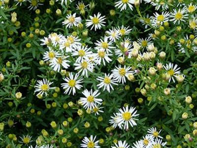 Aster ericoides 'Snowflurry' (prostrate)