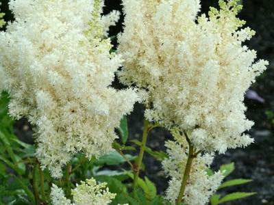 Astilbe chinensis 'Visions in White' PBR