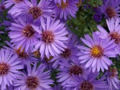 Aster dum. 'Wood's Purple'