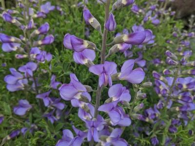 Baptisia australis 'Minor'