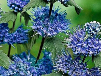 Caryopteris x cland. 'Heavenly Blue'