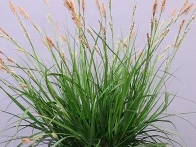 Carex oshimensis 'Intense Green'