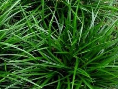 Carex morrowii 'Irish Green'