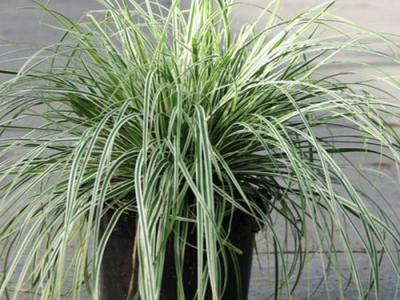 Carex oshimensis 'Fiwhite'  PBR (EVEREST)