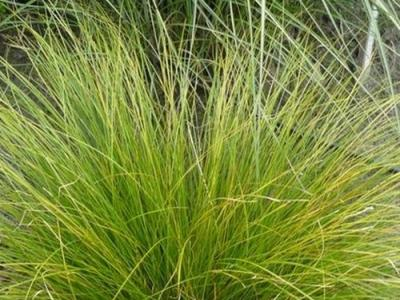 Carex how. 'Phoenix Green'