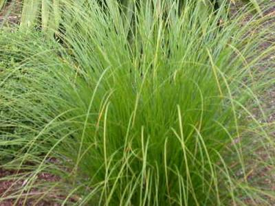Carex secta