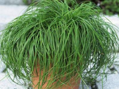Carex caryophyllea 'The Beatles