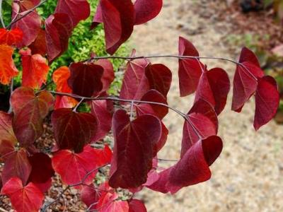 Cercis can.' Red Force'
