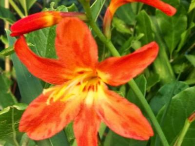 Crocosmia 'Princess'