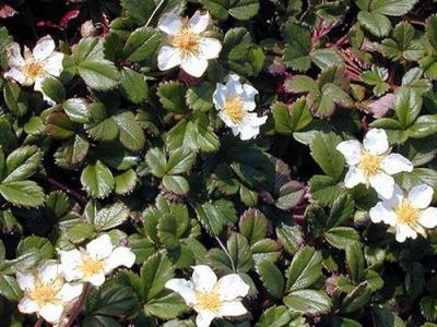 Fragaria chiloensis