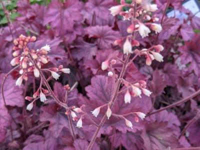 Heuchera 'Berry Smoothie' PBR