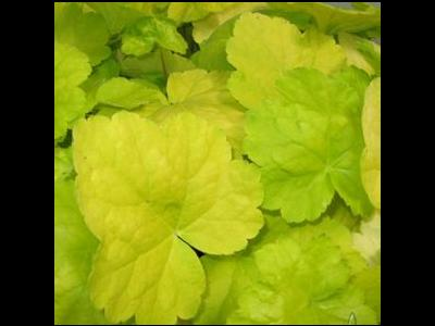 Heuchera World Cafe 'Romano'