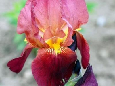 Iris Germanica 'Vita Fire'