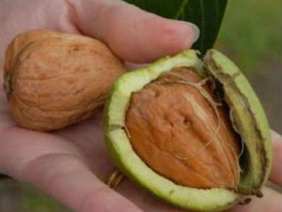 Juglans regia 'Broadview' VEREDELDE WALNOOT