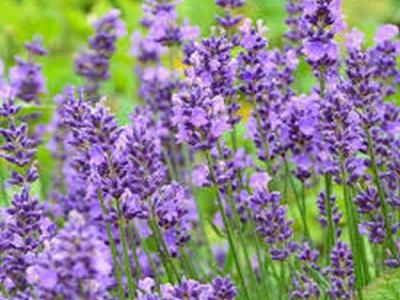 Lavandula ang. 'Essence Purple'