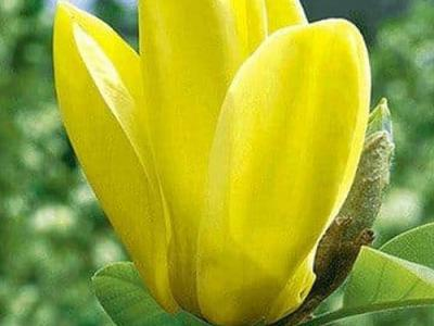 Magnolia den. 'Yellow Bird'