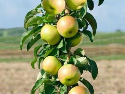 Malus ® zuileetappel  'Golden Gate'