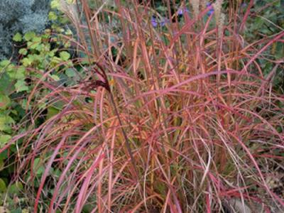 Miscanthus sin. 'Little Miss' PBR