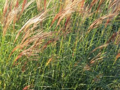 Miscanthus sin. 'Silberspinne'