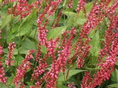 Persicaria amp. 'Orange Field' PBR