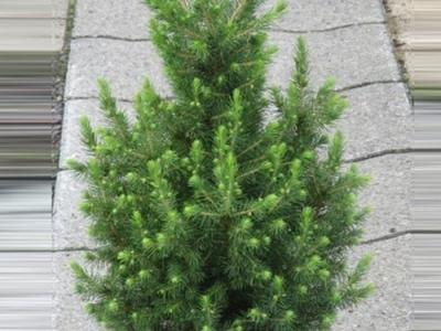 Picea glauca 'Conica December' ®