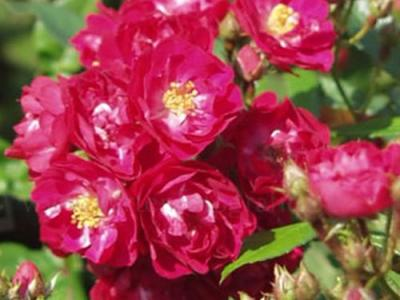 Rosa (stamroos)  'Alberich'