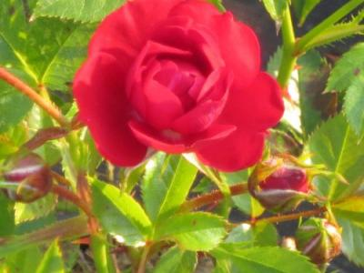 Rosa (mini) ' Red The Fairy'