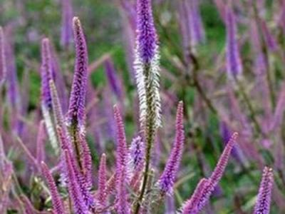 Veronicastrum vir. 'Fascination'