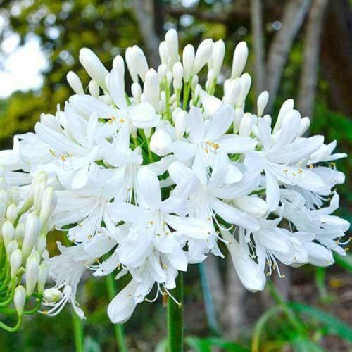 Agapanthus 'Getty White'