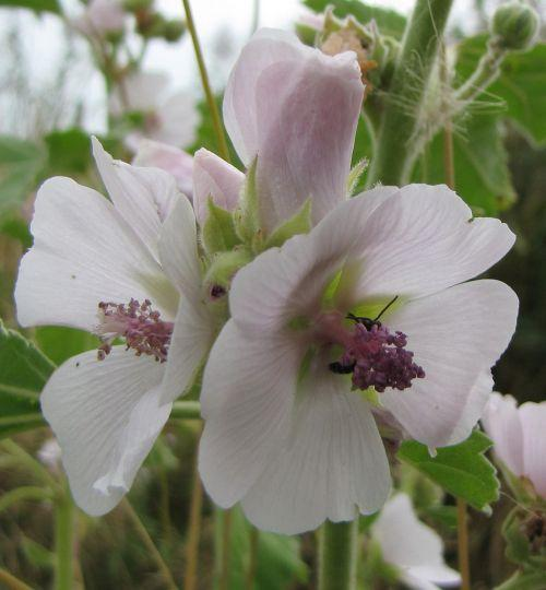 Althaea officinalis heemst
