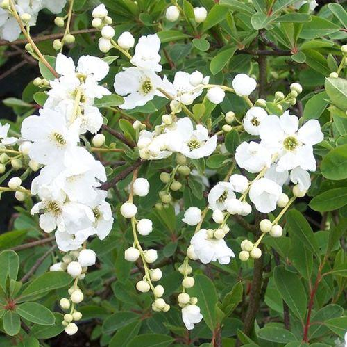 Exochorda macrantha 'The Bride'
