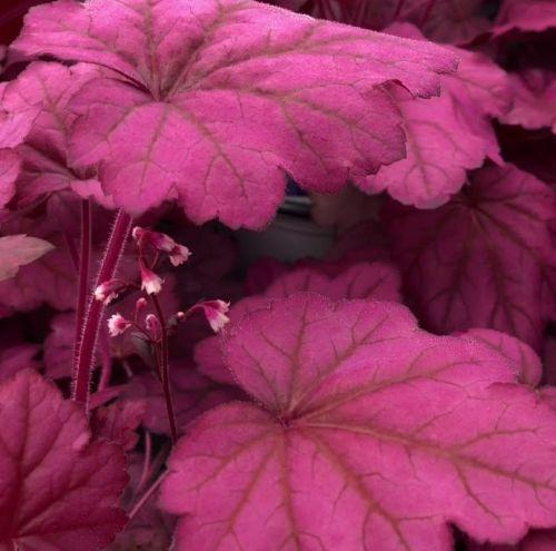 Heuchera 'Wild Rose' PBR
