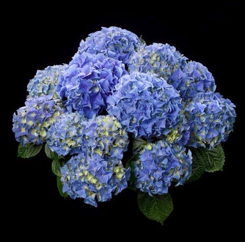 Hydrangea mac. 'Early Blue'®   (bolvormig)