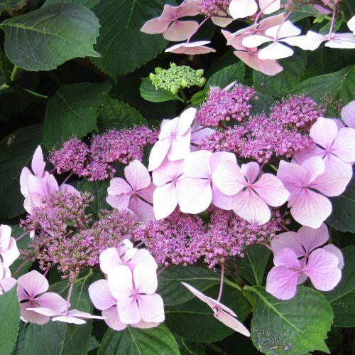 Hydrangea mac. 'Mar. Perfecta' (Blue Wave)